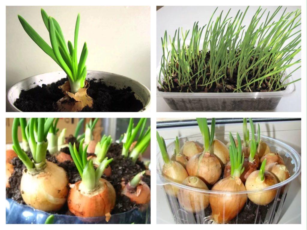 луковицы для посадки на зелень