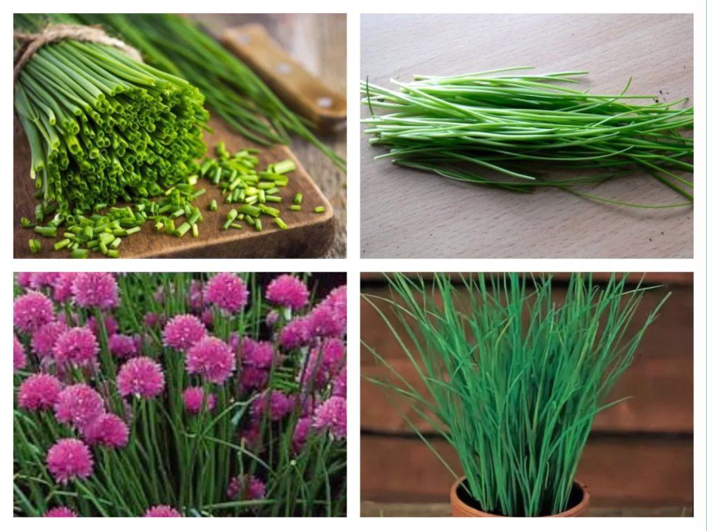 зеленый и цветущий лук шнитт
